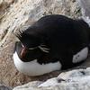 Lazy rockhopper penguin on New Island, Falkland Islands