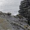 "Black browed albatrosses' ""landing strip"" on New Island, Falkland Islands"