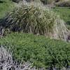 Tussock grass on Carcass Island, Falkland Islands