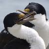 Imperial cormorants on New Island, Falkland Islands
