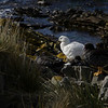 3994 - Carcass Island - 2011-03-07 - P1100335