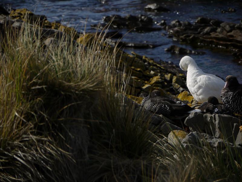 3996 - Carcass Island - 2011-03-07 - P1100342
