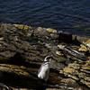 3971 - Carcass Island - 2011-03-07 - P1100315