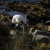 3993 - Carcass Island - 2011-03-07 - P1100333