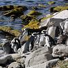 4036 - Carcass Island - 2011-03-07 - P1100480