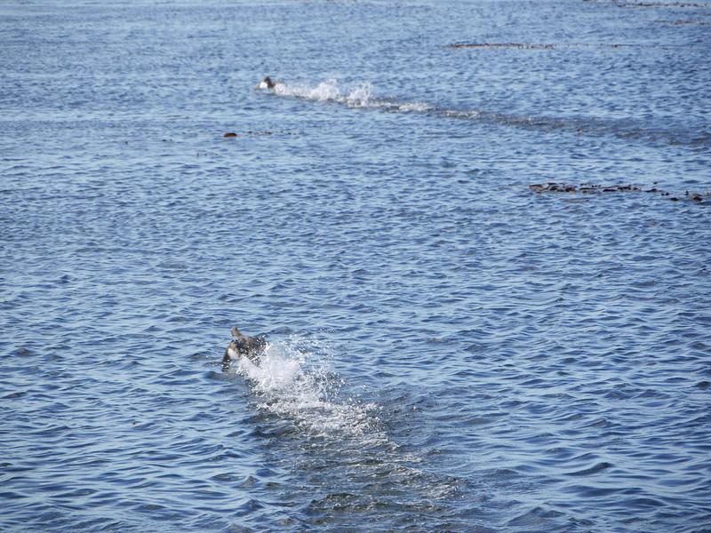 4070 - Carcass Island - 2011-03-07 - P1100380