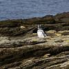 3988 - Carcass Island - 2011-03-07 - P1100271
