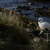 3995 - Carcass Island - 2011-03-07 - P1100340