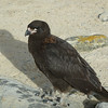4342 - New Island - 2011-03-07 - P1020488
