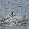 4050 - Carcass Island - 2011-03-07 - P1100356