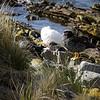 3991 - Carcass Island - 2011-03-07 - P1100317