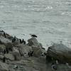 4306 - New Island - 2011-03-07 - P1020484