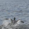 4051 - Carcass Island - 2011-03-07 - P1100357