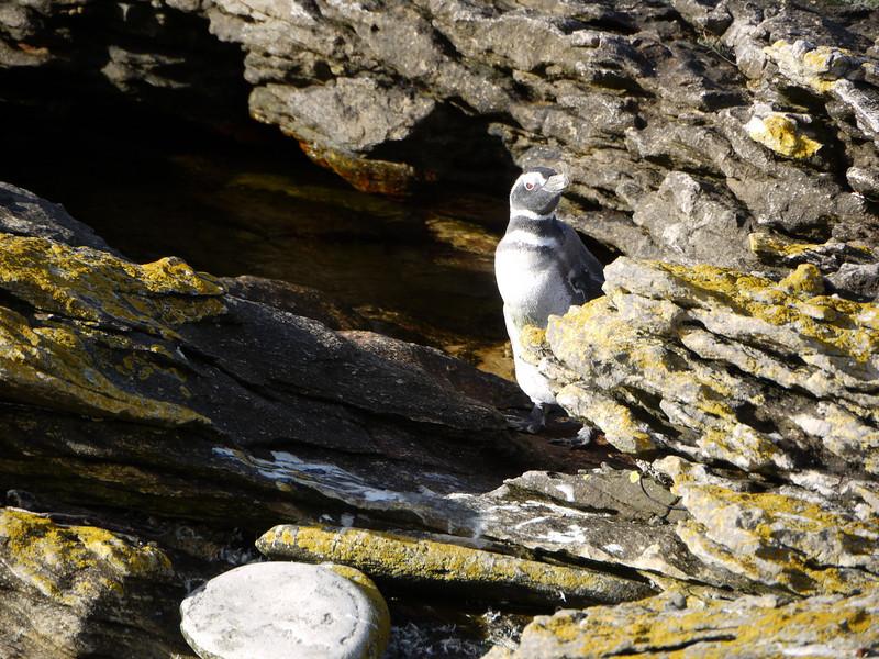 3973 - Carcass Island - 2011-03-07 - P1100295