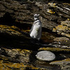 3983 - Carcass Island - 2011-03-07 - P1100311