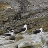 4307 - New Island - 2011-03-07 - P1100751