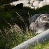 4024---Carcass-Island---2011-03-07---P1100432