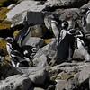 4043---Carcass-Island---2011-03-07---P1100494