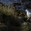 3996---Carcass-Island---2011-03-07---P1100342