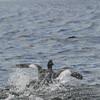 4051---Carcass-Island---2011-03-07---P1100357