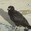 4342---New-Island---2011-03-07---P1020488