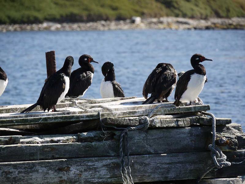 3917---Carcass-Island---2011-03-07---P1100509