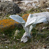 4004---Carcass-Island---2011-03-07---P1100345