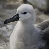 4270---New-Island---2011-03-07---P1100715
