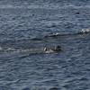 4060---Carcass-Island---2011-03-07---P1100372