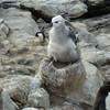 4249---New-Island---2011-03-07---P1020469