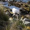 3991---Carcass-Island---2011-03-07---P1100317