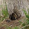 3960---Carcass-Island---2011-03-07---P1100259