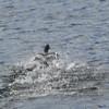 4050---Carcass-Island---2011-03-07---P1100356