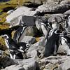 4041---Carcass-Island---2011-03-07---P1100489