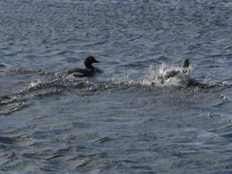 4062---Carcass-Island---2011-03-07---P1100361