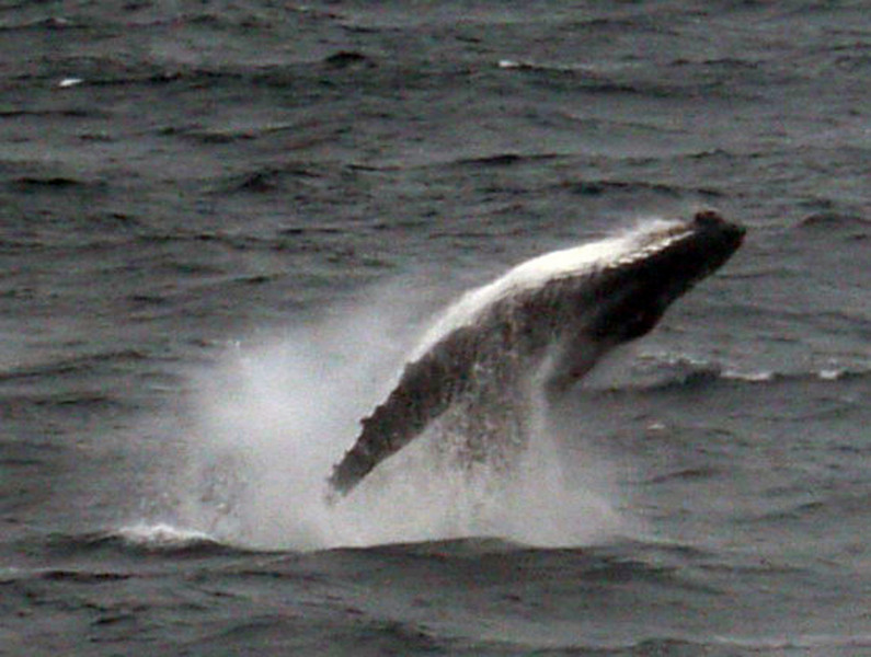Breaching whale while at sea between South Georgia & the Falkland Islands