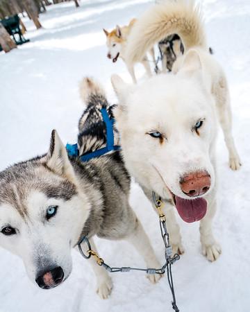Husky Dogs | Travel Photography Exploring Colorado