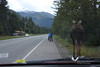 August 2011. Moose on the road.