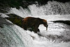 Brown bear catching a salmon. Brooks Falls.