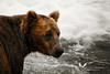 Brown bear at Brooks Falls, Katmai.