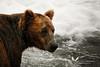 Brown bear at Brooks Falls, Katmai.