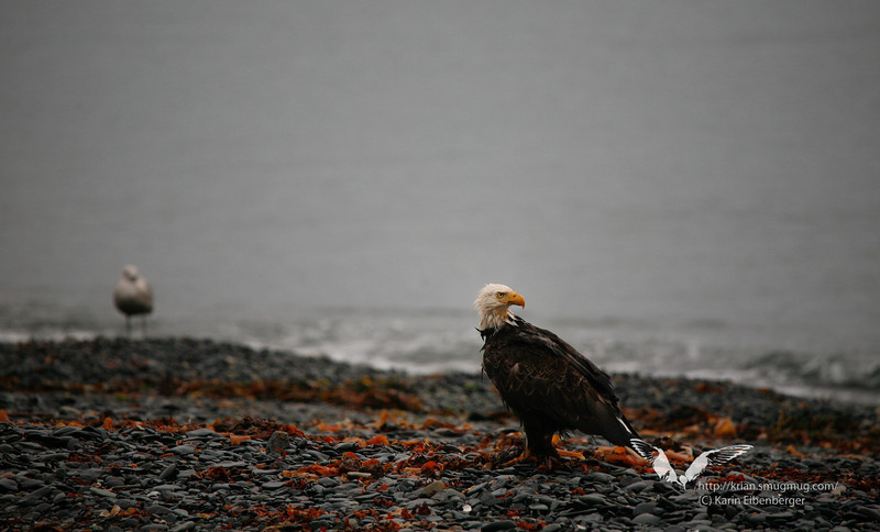 An American Bald Eagle was landing just right besides our tent at the beach near Seward.