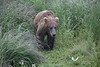 August 2011. Katmai National Park, near Brooks Camp. It's a she and she really shocked us when coming round a corner behind a big bush - she was then only 5 meters away. Well, we just made way for her because bear always have the right of way.