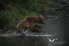 August 2011. Katmai National Park, near Brooks Camp.<br /> That's quite a young female bear who is not very good in fishing the rangers said.