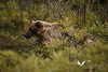 August 2011. Denali National Park. Another Grizzly.