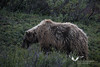 August 2011. Denali National Park. A Grizzly.