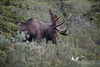 August 2011. Denali National Park. Moose.
