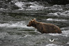 August 2011. Katmai National Park, near Brooks Camp at the Brooks Falls.