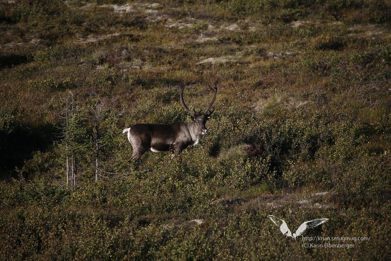 August 2011. Denali National Park. Caribou.