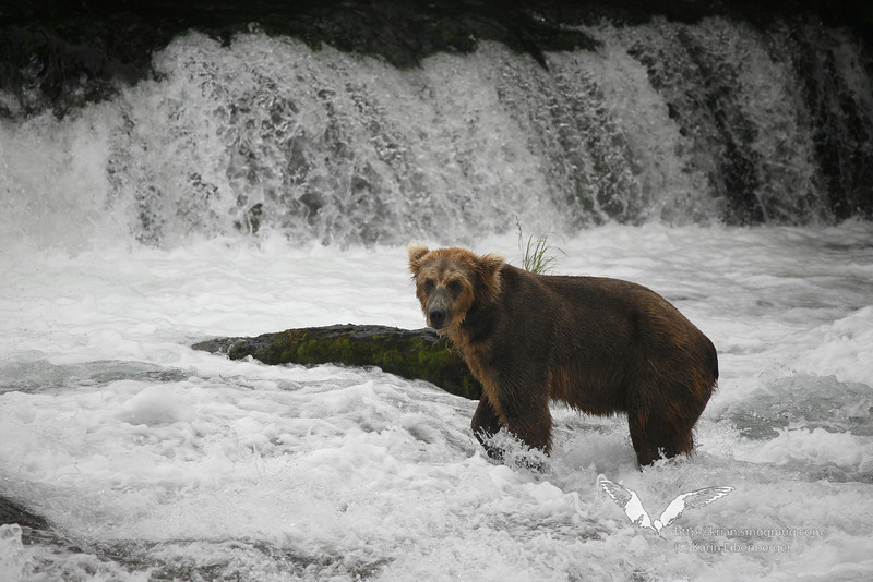August 2011. Katmai National Park, near Brooks Camp at Brooks Falls.